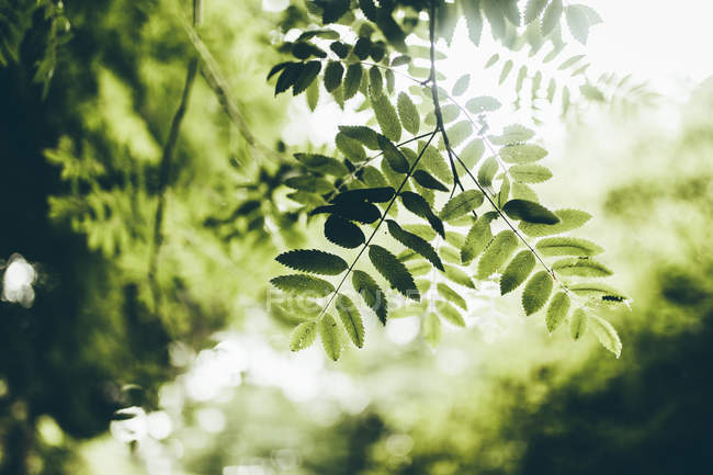 Natural green leaves hang on branches — Stock Photo