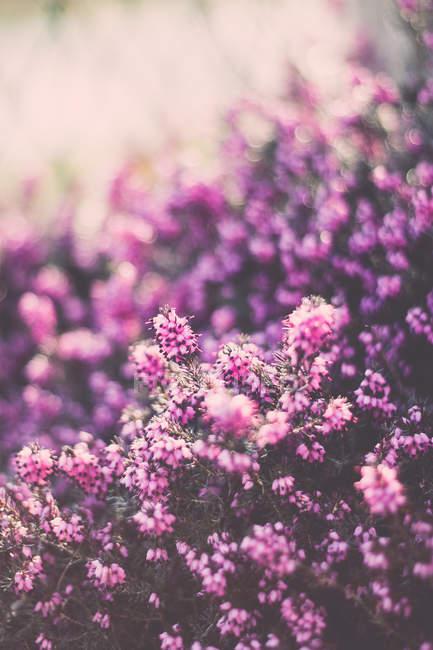 Primo piano dei fiori dentellare nel campo di estate in giorno pieno di sole — Foto stock