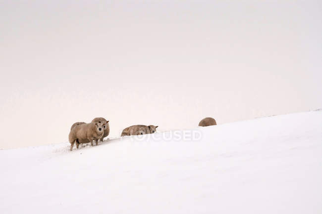 Sheep on snow covered landscape against white sky — Stock Photo