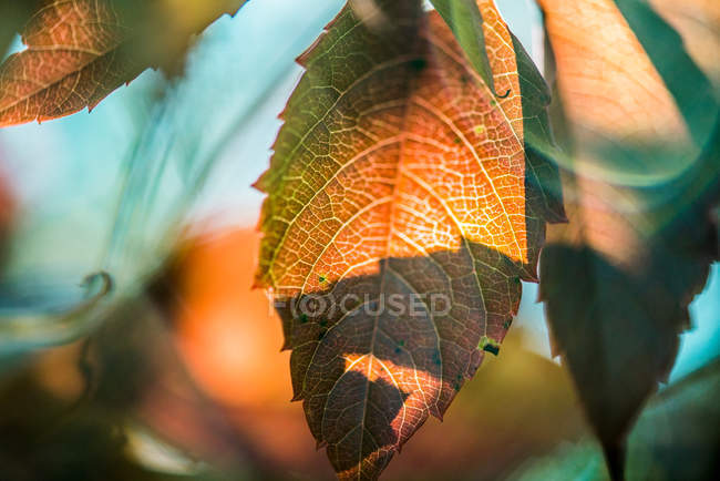 Close-up of dry leaves on a tree — Stock Photo