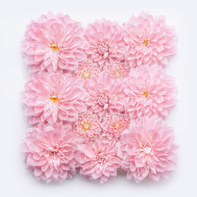 Close-up of pink flowers over white background — Stock Photo