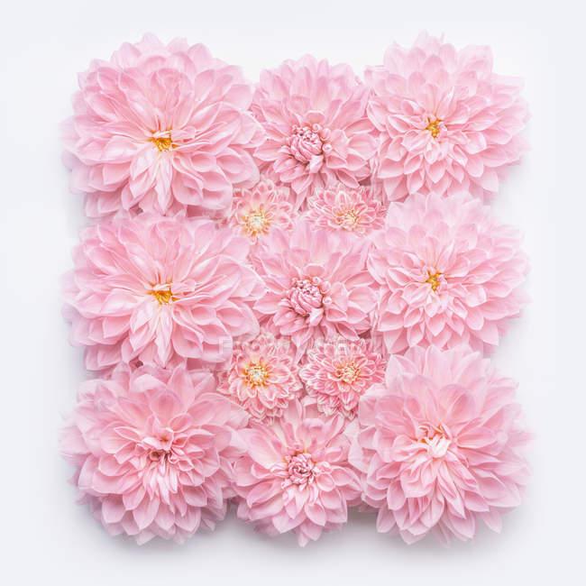 Крупным планом розовые цветы на белом фоне — стоковое фото