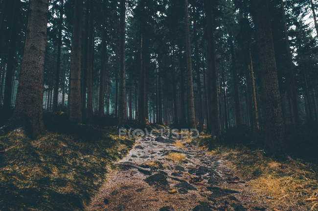 Evening time in forest with huge trees — Stock Photo