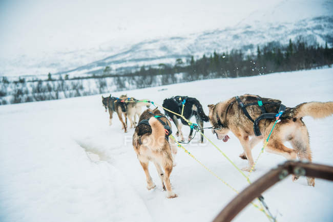 Snow dogs on a snow covered field during winter in Scandinavia — Stock Photo