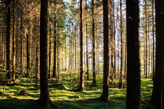 Local tranquilo de árvores em uma floresta com raios solares — Fotografia de Stock