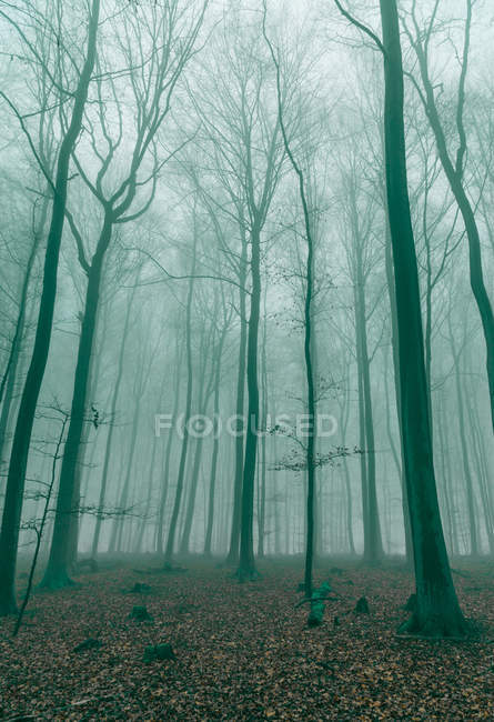 Green evening light in forest with trees and fog — Stock Photo