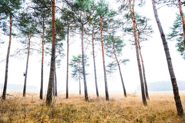 Foggy Forest with long trees — Stock Photo