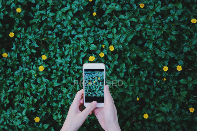 Partial view of person holding mobile phone above green foliage grass with yellow flowers — Stock Photo