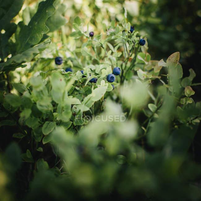 Выборочный фокус свежей черники выдаются — стоковое фото