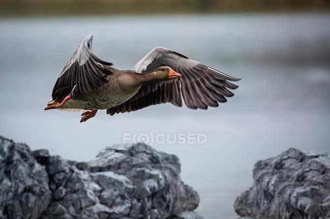 Mallard duck flying over rocks — Stock Photo