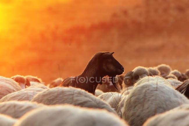 Natural wildlife shot of goats at beautiful sunset — Stock Photo