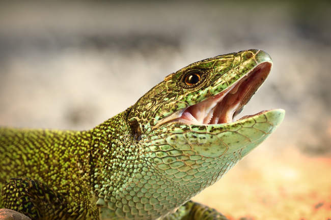 Close-up shot of green lizard with opened mouth — Stock Photo
