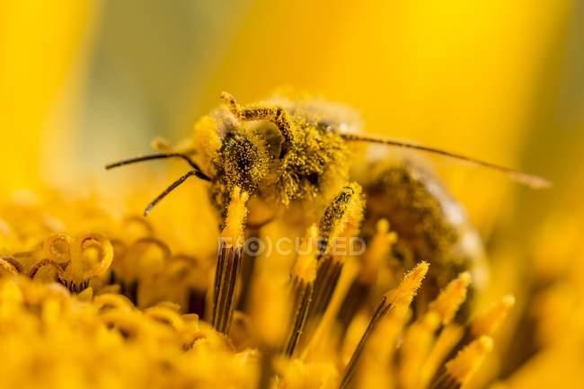 Tir nature gros plan d'une abeille sur une fleur — Photo de stock