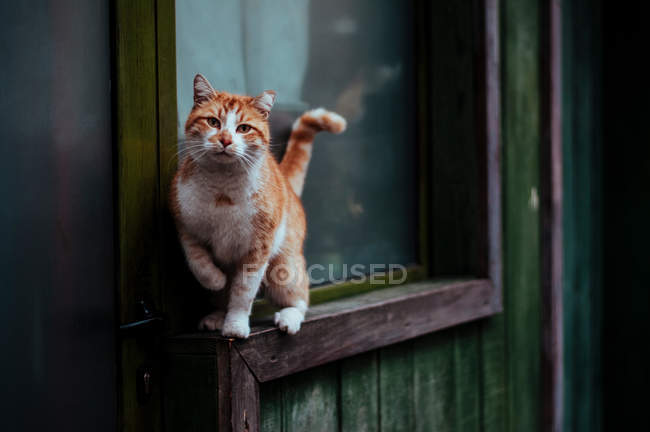 Commandes de chat shorthair rouge sur rebord de fenêtre — Photo de stock