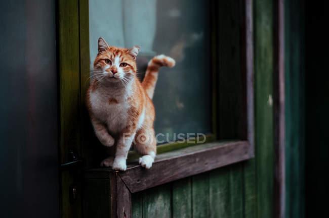 Roten Kurzhaar Katze stehend auf Fenstersims — Stockfoto