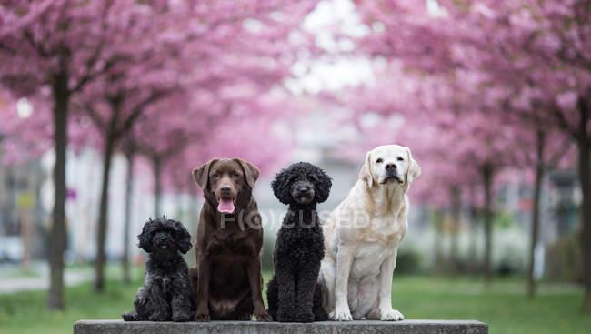 Quatre chiens mignons, assis dans le parc de fleurs de printemps — Photo de stock