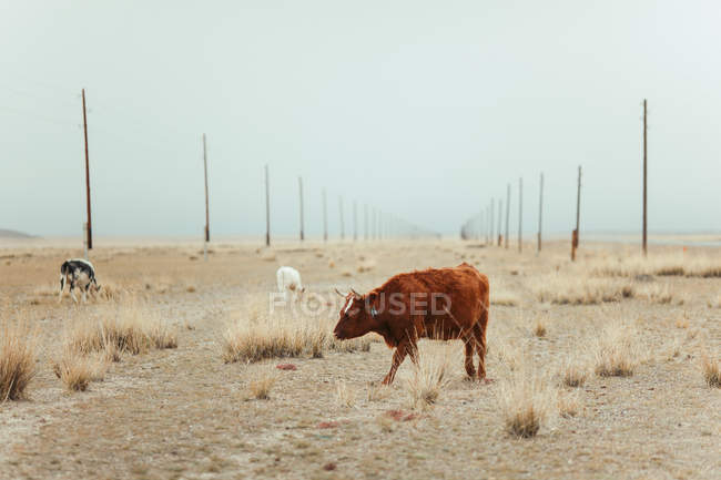 Cows grazing at altai steppe, russia — Stock Photo