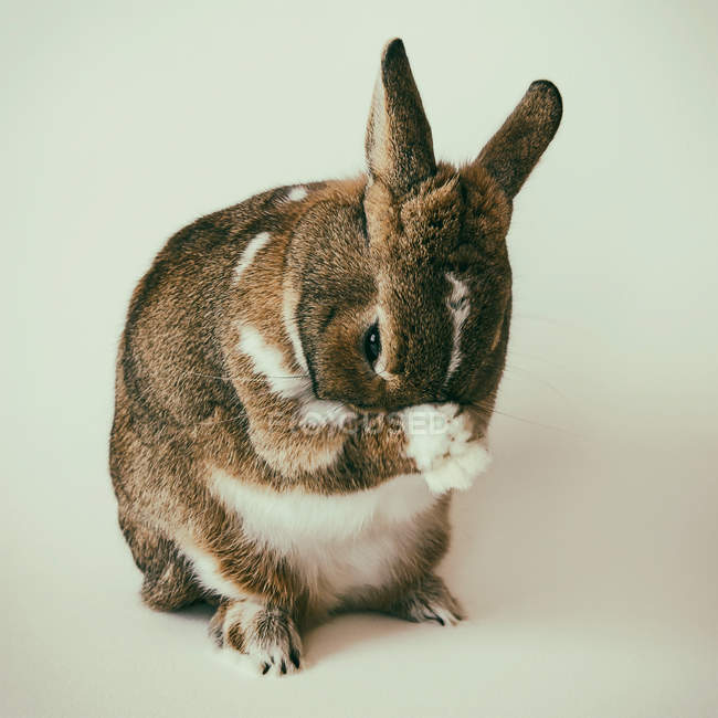 Brown ad white rabbit sitting against white background — Stock Photo