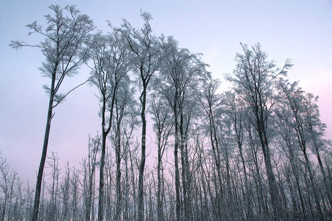 Tranquil scene of trees in forest at sunset sky - foto de stock
