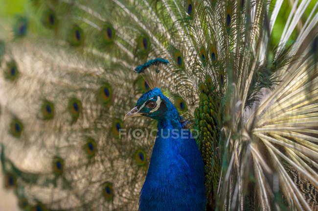 Птица Павлин с красочными хвост — стоковое фото
