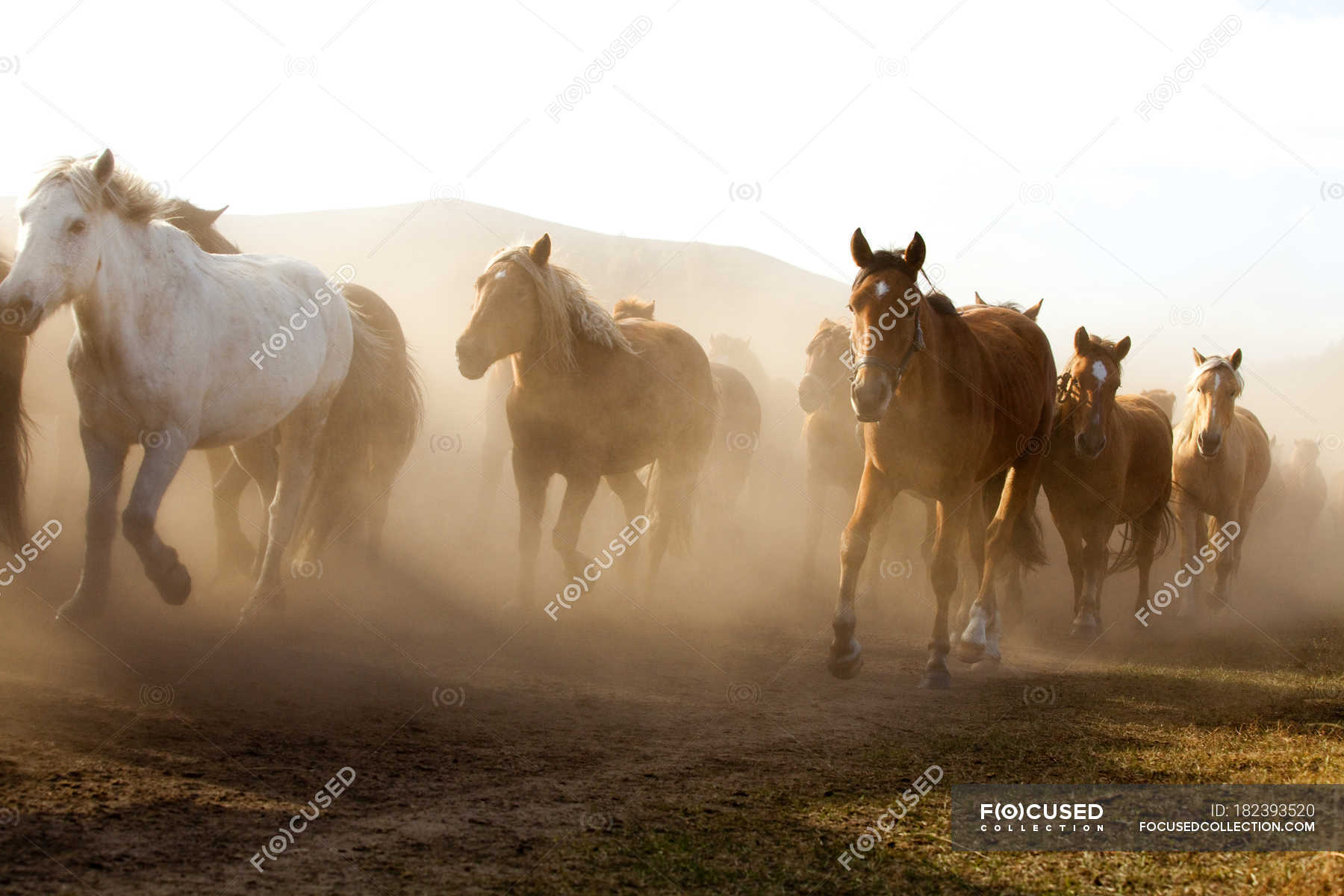 Herd Of Wild Horses Running In Inner Mongolia Grassland Mountains Freedom Stock Photo 182393520