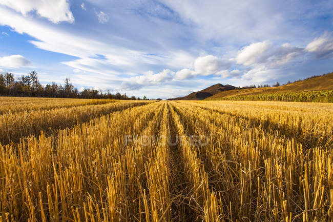 Rural scene of golden harvested field — Stock Photo