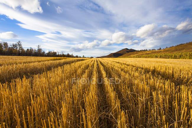 Сельские сцены Золотой заготовленной поля — стоковое фото