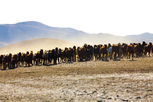 Herde von Wildpferden läuft in der inneren Mongolei Grasland — Stockfoto