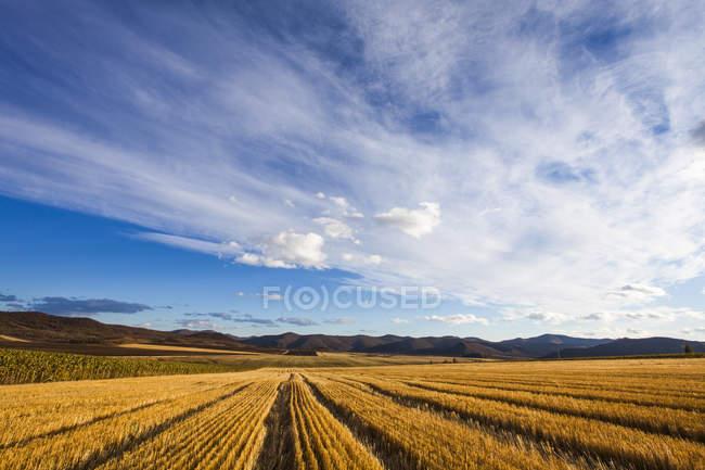 Escena rural de campo cosechado de oro - foto de stock