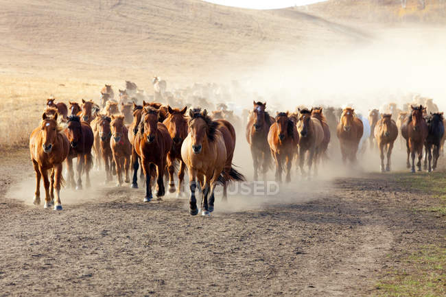Herde von Wildpferden im Grasland der Inneren Mongolei — Stockfoto