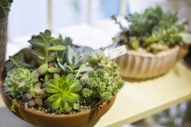 Potted succulent plants on stand in shop — Stock Photo