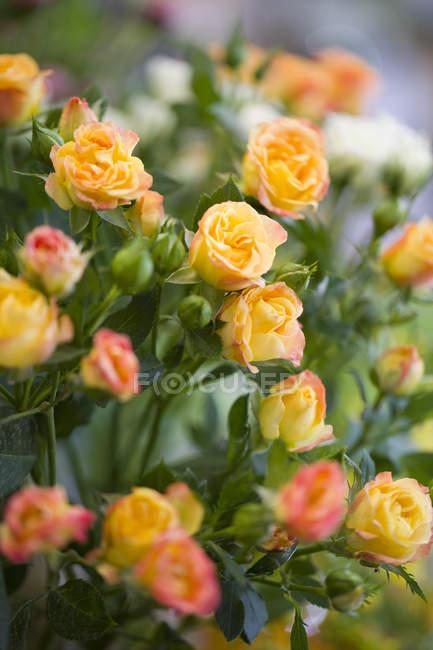 Vista de close-up de um monte de rosas amarelas — Fotografia de Stock