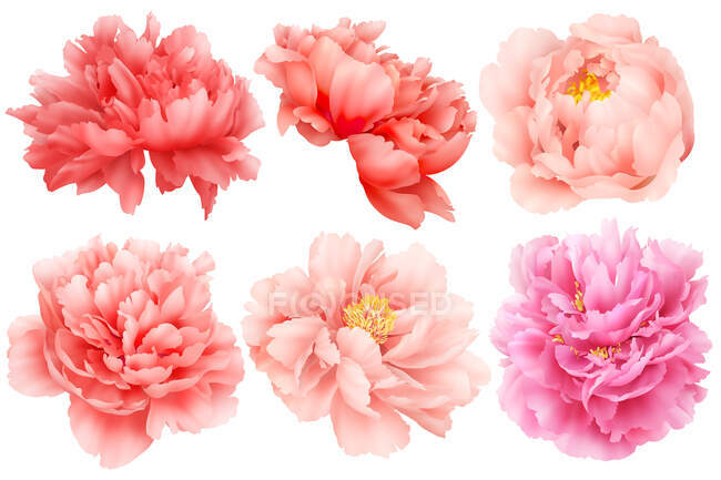 Set of various peonies isolated on white background — Stock Photo