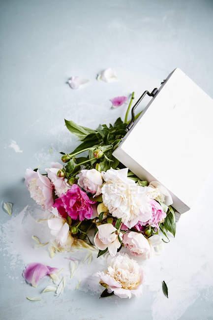 Hermosas peonías blancas y rosadas - foto de stock