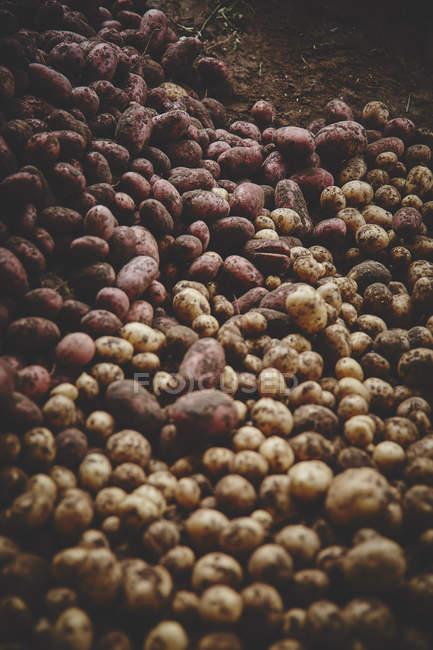 Fresh potatoes on ground — Stock Photo