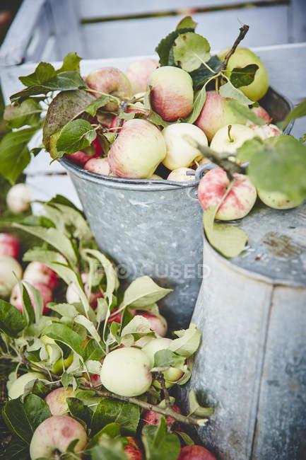 Frische reife Äpfel im Eimer — Stockfoto