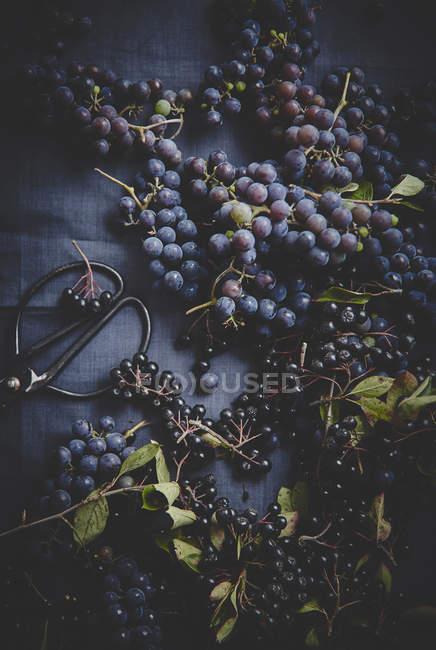 Dunkel blaue Trauben mit der Ernte Schere — Stockfoto