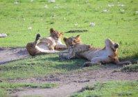 Löwinnen in der afrikanischen Savanne — Stockfoto