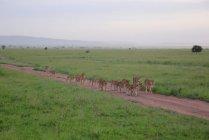 Leoni nella savana africana — Foto stock