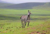 Зебра в пейзаж в Африканской Саванны — стоковое фото
