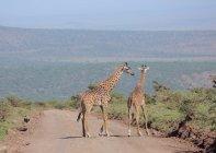 Two adult Giraffes — Stock Photo