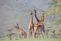 Группа молодых жирафов — стоковое фото