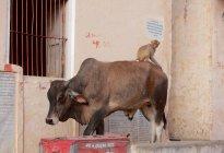 Корова з мавпи на вулицях Джайпур, Сполучені Штати Америки — стокове фото