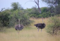 Herd of african ostriches — Stock Photo