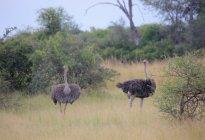 Manada de avestruces africanos - foto de stock