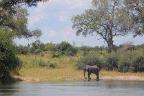Junge Elefanten im Okavango-Fluss — Stockfoto