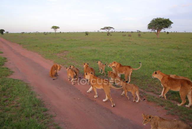 Гордость львы в Африканской Саванны — стоковое фото