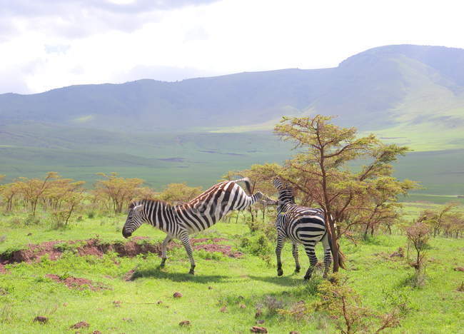 Zebras in african savannah — Stock Photo