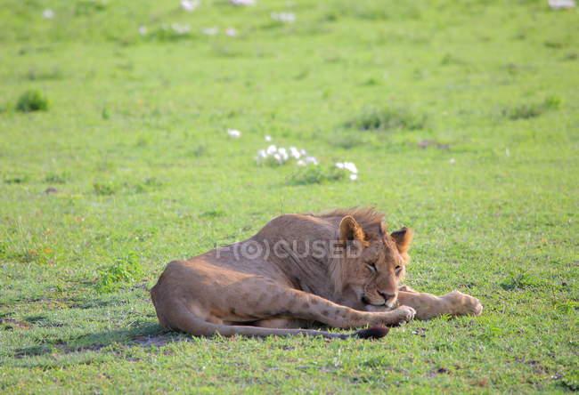 Leoa em savana africana — Fotografia de Stock