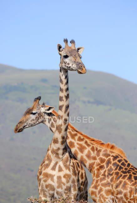 Gruppe junger Giraffen — Stockfoto